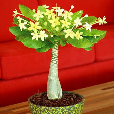 Brighamia Insignis - The Hawaiian Palm