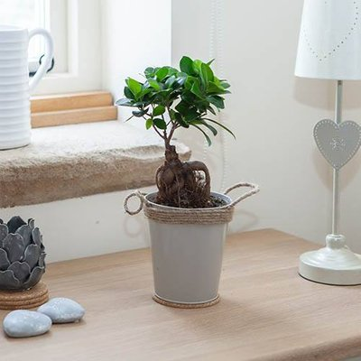 Bonsai Ficus Ginseng - Easy Care Houseplant in 13cm Zinc Pot