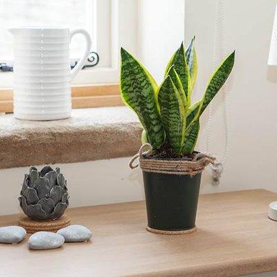 Sansevieria Snake Plant in 13cm warm zinc pot