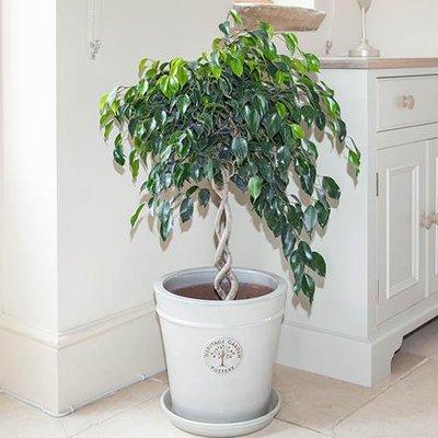 Ficus Double