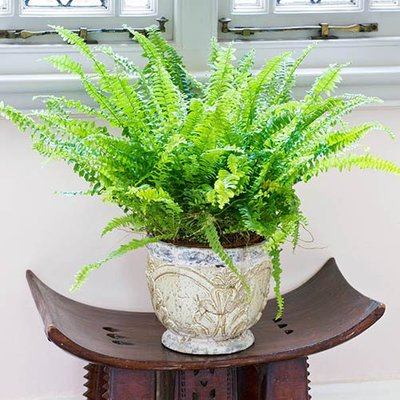 Nephrolepis Green Moment (Boston Fern) 12cm pot