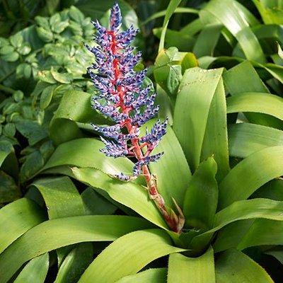 Bromeliad Aechmea Blue Rain