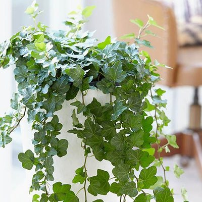 English Ivy Hedera helix Wonder in White Hanging Pot