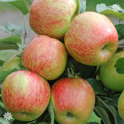 Apple Braeburnbare root tree