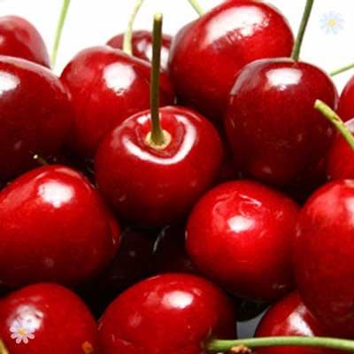 Cooking Cherry Morello tree