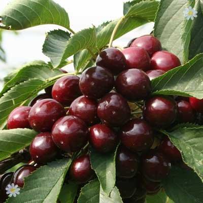 Sweet Cherry Lapins tree