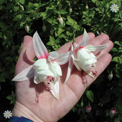 Trailing Fuchsia Collection x 12 Jumbo Plug Plants
