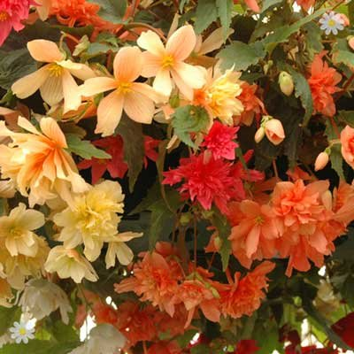 Begonia Illumination In Mixed Colours x 18 Jumbo Plug Plants