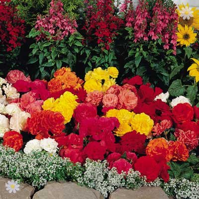 Begonia Non-Stop In Mixed Colours x 18 Jumbo Plug Plants
