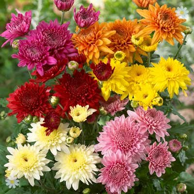 Garden Spray Chrysanthemum Plants x 12 Jumbo Plugs