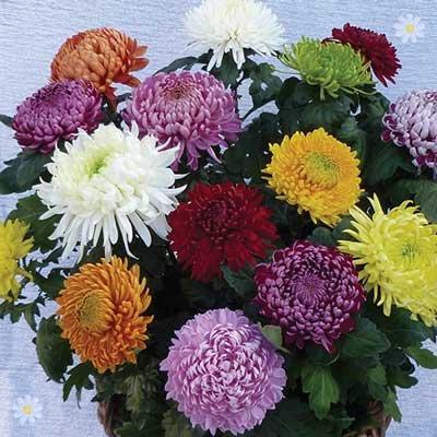 Garden Bloom Chrysanthemum Collection x 12 Jumbo Plug Plants
