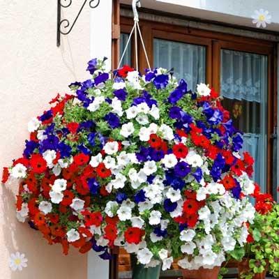Patriotic Petunia Plant Collection red/white/blue - 18 plugs