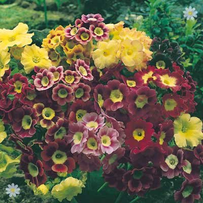 Primula auricula - pack of 12 jumbo plug plants