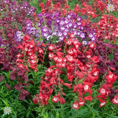 Perennial Hardy Penstemon Collection - 12 plugs