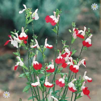Salvia Hot Lips pack of 10 plug plants