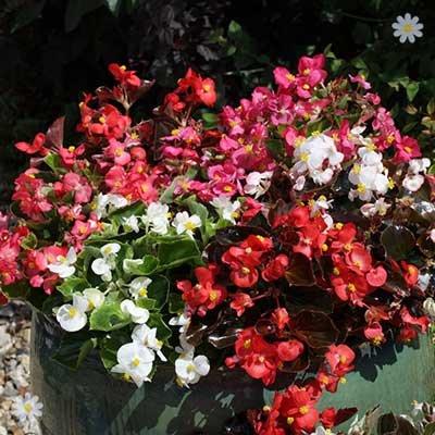 Begonia semp.