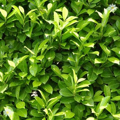 Laurel Hedging (Prunus laurocerasus Rorundilfoia) 9cm pot 20