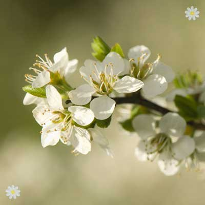 Hedging Plant Prunus spinosa (Blackthorn) 1-1.2M