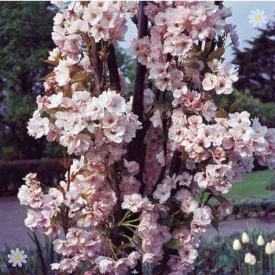 Flowering Cherry tree Amanogawa bare root
