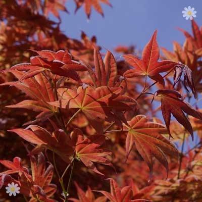 Liquidambar styraciflua (Sweetgum) tree 80-100cm
