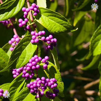 Callicarpa Profusion (Beauty Berry) plants - set of 3 in 9cm ptos