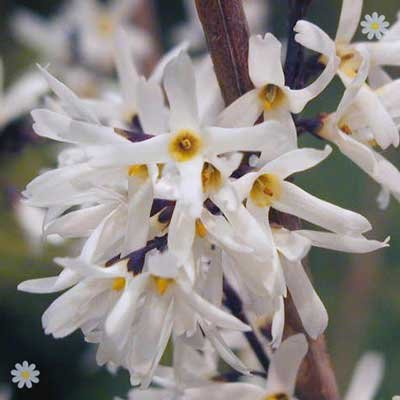 Abeliophyllum distichum (White Forsythia) plant in 9cm pot