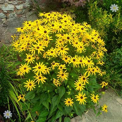 Rudbeckia black eyed susan flowering perennial garden plants for hardy rudbeckia goldsturm perennial plants pack of 3 in 9cm pots mightylinksfo
