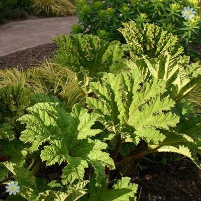 Gunnera manicata plants - 3 pack x 9cm pots