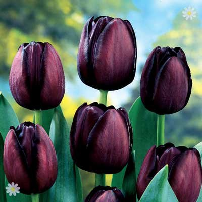 Tulip Queen of the Night Size: 12+ pack of 15 bulbs