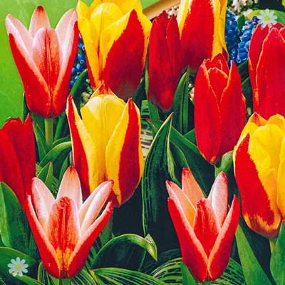 Tulip Kaufmanniana Mixed (early) Size:9/10 pack of 25 bulb