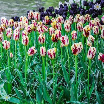 Tulip Grand Perfection Size:11/12 pack of 12 bulbs