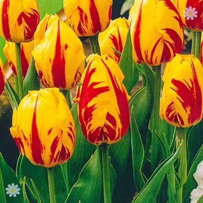 Tulip Washington Size:11/12 pack of 15 bulbs