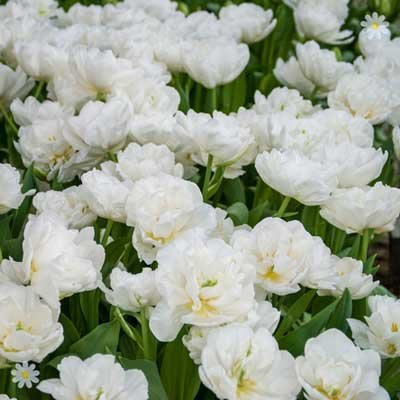 Tulip Mount Tacoma (Peony flowered) Size:10/11 pack of 15 bu