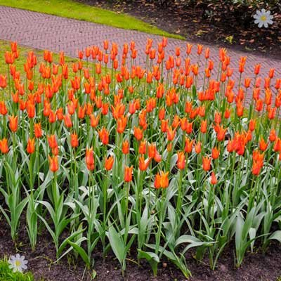 Tulip Syneada Orange Size:12+ pack of 12 bulbs