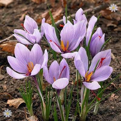 Crocus sativus (Saffron Crocus) Size:7+ pack of 12 bulbs