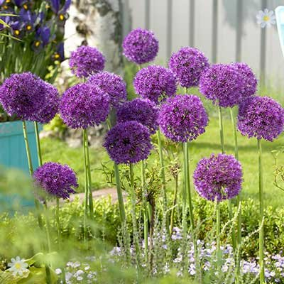 Allium Purple Sensation Size:10/12 pack of 12 bulbs