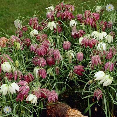 Fritillaria meleagris mixed Size:5/6 pack of 30 bulbs