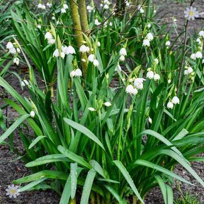 Leucojum aestivum (Snowflakes) Size:7/8 pack of 15 bulbs
