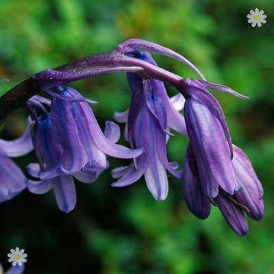 English Native Bluebells - pack of 25 in the green