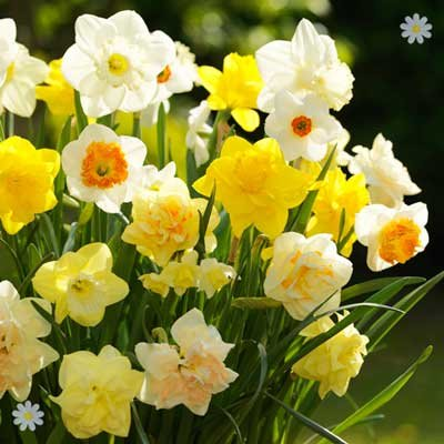 Tall Mixed Daffodils - Pack of 100 Bulbs