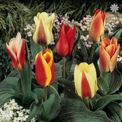 Value Miniature Tulips - 50 bulb pack Size 9/11