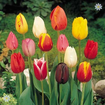 Value Triumph Tall Tulips - 50 bulbs Size 9/11