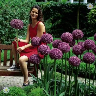 Giant Allium Globemaster bulbs Size: 18/20 - pack of 2