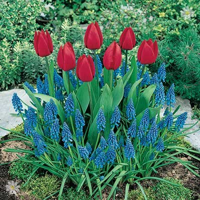 Plant-o-Mat Classic Tulip/Muscari 45 bulbs