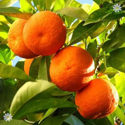 Large Orange tree in 6.5L pot