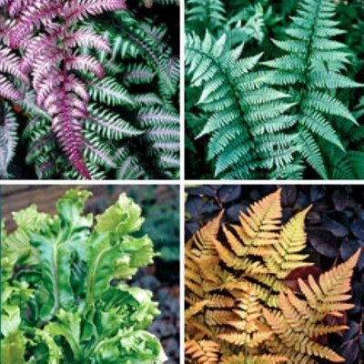 Fantastic Fern Collection - 5 Different Plants in Assorted varieties