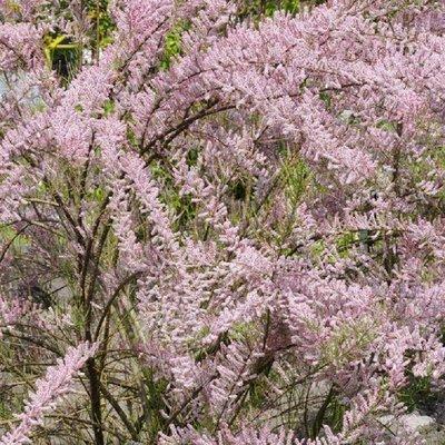 Tamarix Parviflora tetrandra - Tamarisk
