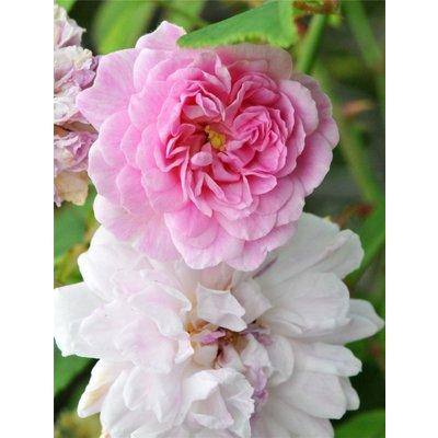 Large 6-7ft Specimen - Rose Pauls Himalayan Musk - Climbing Rose