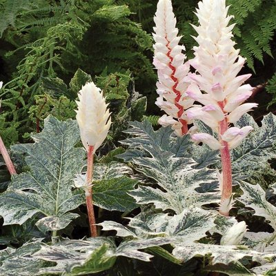 Acanthus mollis White Water - Variegated Acanthus Bears Breeches