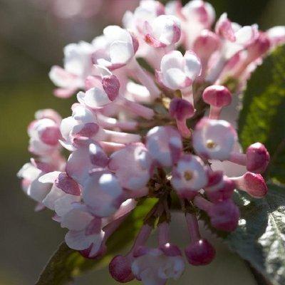Viburnum carlesii Aurora